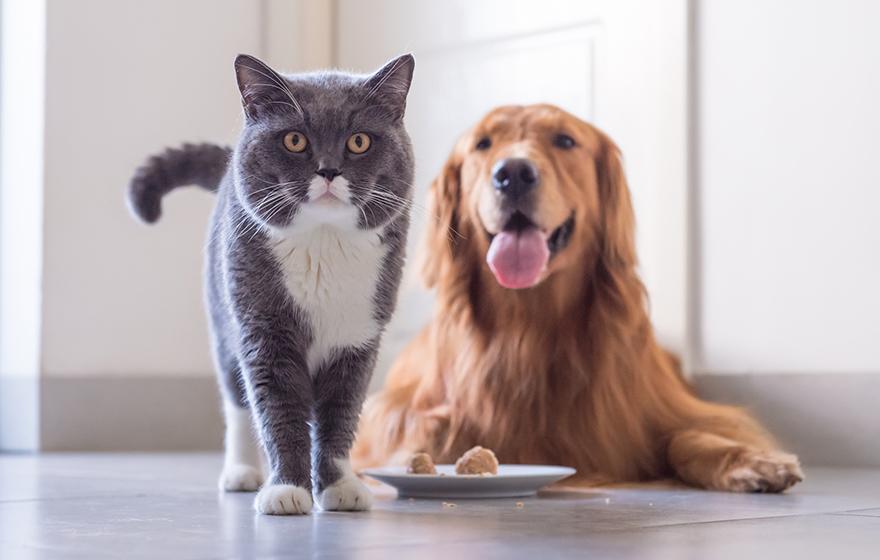 shorthair grey and white cat and Golden Retriever with a plate of food on floor and crumbs